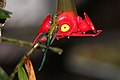 Long-tailed Sylph (Aglaiocercus kingi) (4856370975).jpg