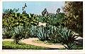Los Angeles CA - A Cacti Garden, Westlake Park (NBY 432383).jpg