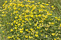 Lotus corniculatus bonneil 02 02082007 1.jpg
