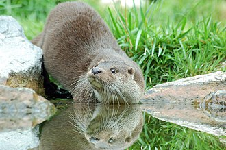 River Mease - European otter