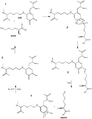 Lysyl oxidase - Lox mechanism