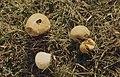 Lycoperdon ericetorum, Sker Point, Kenfig, November 1972 (30719935580).jpg