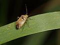 Lygus pratensis (Miridae) - Gemeine Wiesenwanze (9049902852).jpg