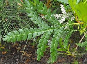 Lyonothamnus - L. floribundus ssp. aspleniifolius leaf