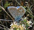 Lysandra bellargus (Niña Celeste) - Flickr - S. Rae (3).jpg