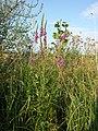 Lythrum salicaria sl1.jpg