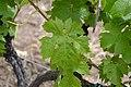 Müller-Thurgau - leaf 2.jpg