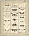 MA I437908 TePapa Plate-XLVII-The-butterflies full.jpg
