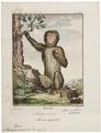 Macacus ecaudatus - 1700-1880 - Print - Iconographia Zoologica - Special Collections University of Amsterdam - UBA01 IZ20000045.tif