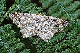 Macaria notata Geometridae.jpg