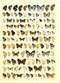 Macrolepidoptera15seit 0345.jpg