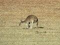 Macropus fuliginosus (39094285235).jpg