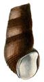 Madagasikara madagascariensis shell 2.png
