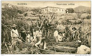 Portuguese immigration to Hawaii - Madeira Islanders cutting sugarcane. About 6,000 of them by 1913 came to Hawaii to do the same work.
