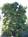Magnolia denudata 2zz.jpg