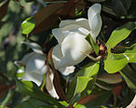 Magnolia grandiflora 3951.jpg