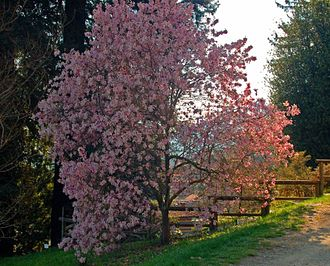Magnolia × loebneri - Image: Magnoliaceae Magnolia stellata rosea 002