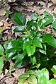 Mahonia aquifolium (7735853536).jpg