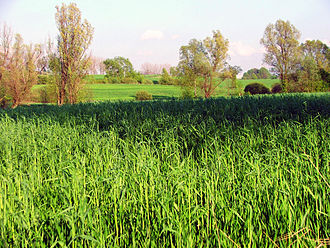Helicoverpa armigera - Maize field habitat, Poland
