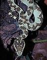 Malabar Pit Viper by Raju Kasambe DSCN0873 (4).jpg
