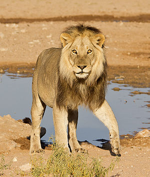 Male Kalahari lion.jpg