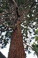 Mammutbaum Hochmaisgasse.jpg