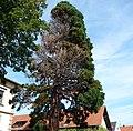 Mammutbaum mit Blitzschlag - panoramio.jpg