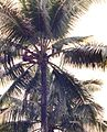 Man who fetches from the palm tree by erin growing coconuts to climb.jpg