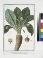 Mandragora fructu rotundo - Mandragora maschio - Mandragore. (Mandrake or Satan's apple) (NYPL b14444147-1124929).tiff