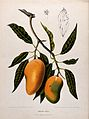 Mango (Mangifera indica L.); fruiting branch with numbered s Wellcome V0042696.jpg