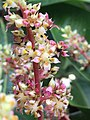 Mango flowerss.jpg