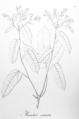 Manihot violacea arcuata Pohl33.png