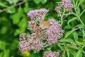 Maniola jurtina on Eupatorium cannabinum flowers 02.jpg