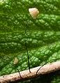 Marasmius limosus Boud. & Quél 394101.jpg