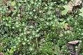 Marchantia polymorpha (b, 145318-481413) 3498.JPG