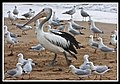 Margate Pelican Rescue- Hook Location-04 (6951240765).jpg