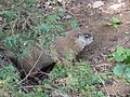 Marmot at Saint Helen's Island in Montreal 08.jpg