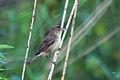Marsh Warbler Lodz(Poland)(js)01.jpg