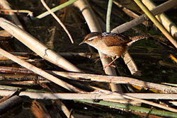 Marsh Wren foraging in the reeds.jpg