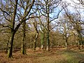 Mature oaks at Castle Piece, Roe Inclosure, New Forest - geograph.org.uk - 145742.jpg
