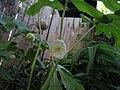 Mayapple Flowering (6897475316).jpg