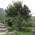 Maytenus acuminata - Silky bark tree - Cape Town 3.jpg