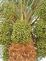 Medinet Habu date palm2.JPG