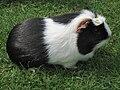 Meerschwein-Flecki-IMG 8003a.jpg