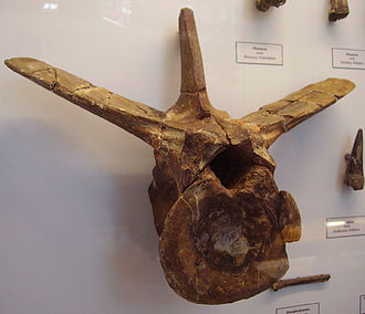 Megalosaurus - Referred tail vertebra, BMNH 9672. The top of its neural spine has broken off, which would have been about twice as long