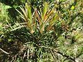 Melaleuca subulata foliage.jpg