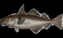 Melanogrammus aeglefinus.png