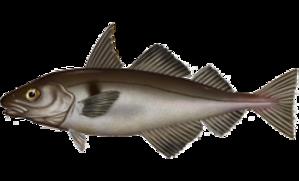 Haddock - Melanogrammus aeglefinus