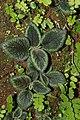 Melastomataceae sp 1505.jpg