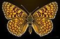 Melitaea phoebe MHNT CUT 2013 3 29 Les Vigneaux female dorsal.jpg
